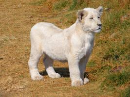 White Lion Cub IV by Jenvanw