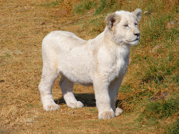 Four rare white lion cubs are the pride of Altina Wildlife Park ...