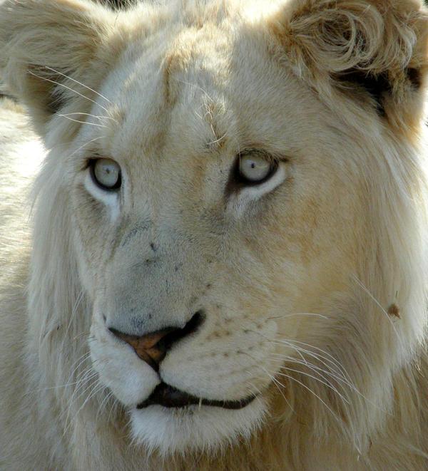 White lion face images - photo#13