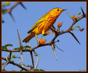 Yellow Warbler by Jenvanw