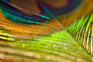 Peacock feather by stevieboy84