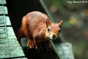 Red Squirrel by aggz-w