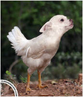Whistlin chog by HumanDescent