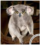 Koalowl
