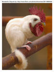 Chickmunk