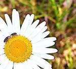 Black Vine Weevils
