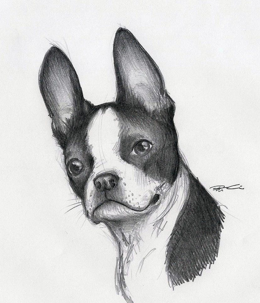 boston terrier drawings boston terrier by robthedoodler on deviantart 9400