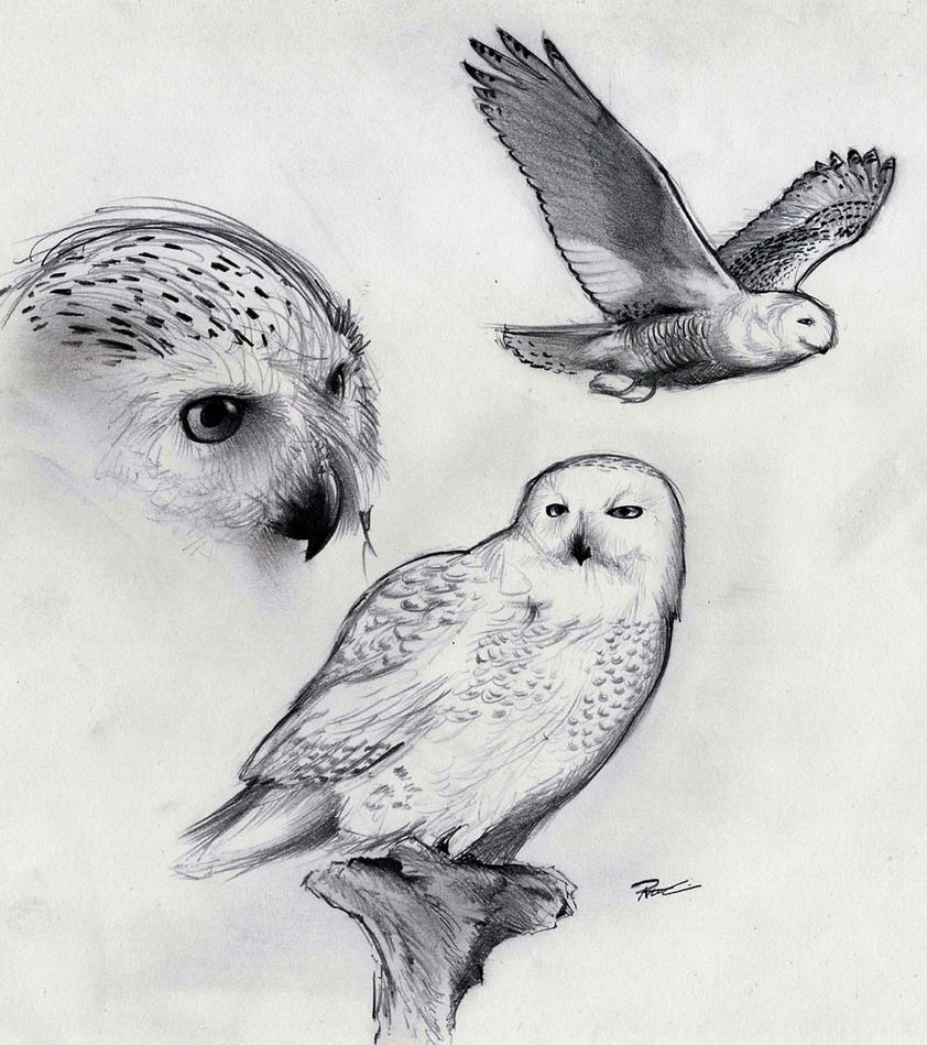 snowy owl by robthedoodler on deviantart