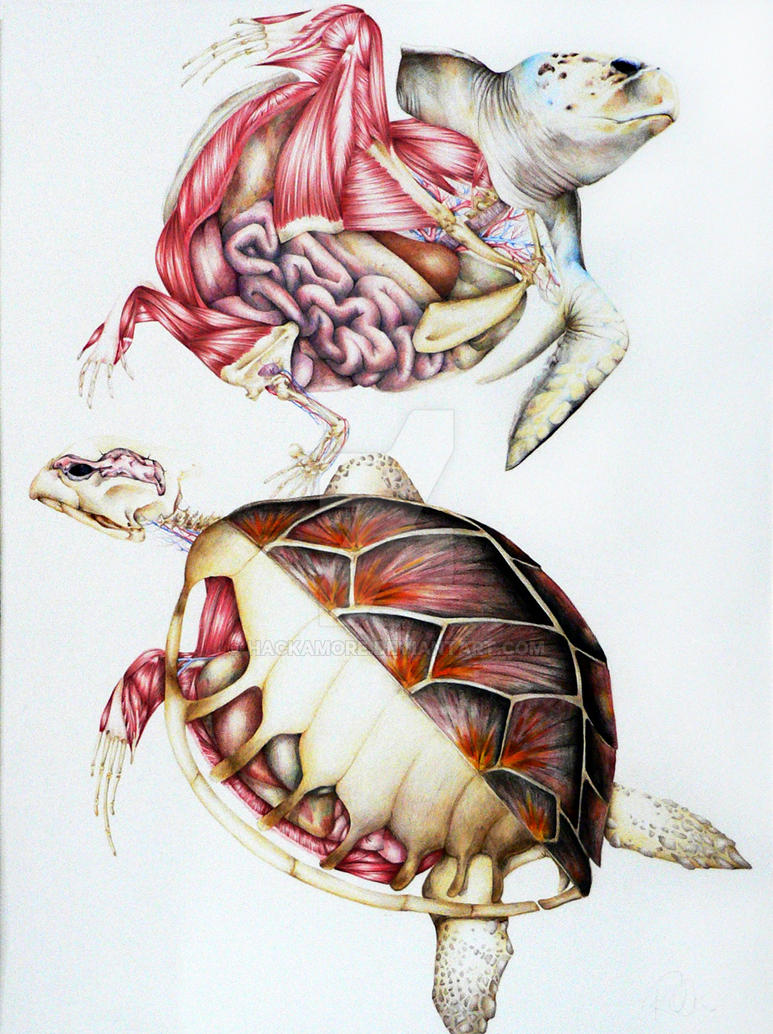 Sea turtle anatomy by hackamore on DeviantArt