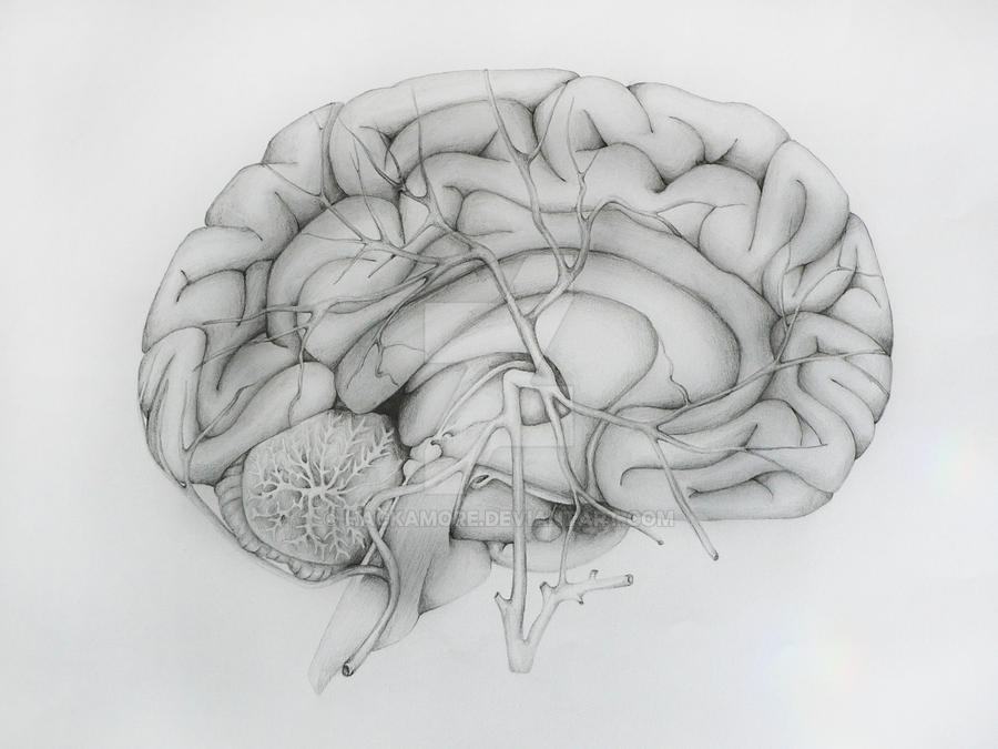 Brain anatomy by hackamore on DeviantArt