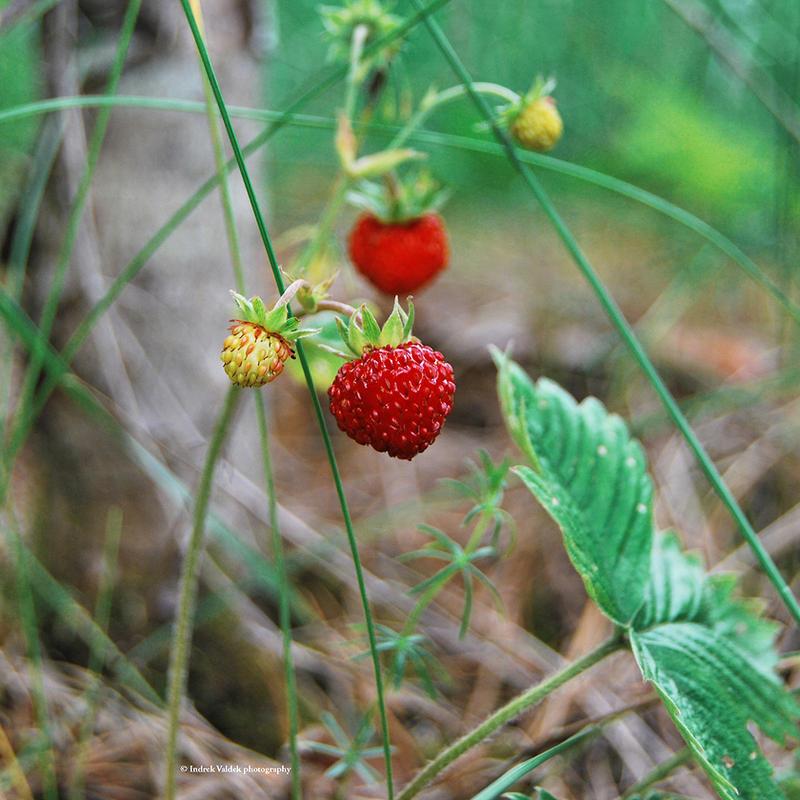 Strawberry fields forever by indrekvaldek