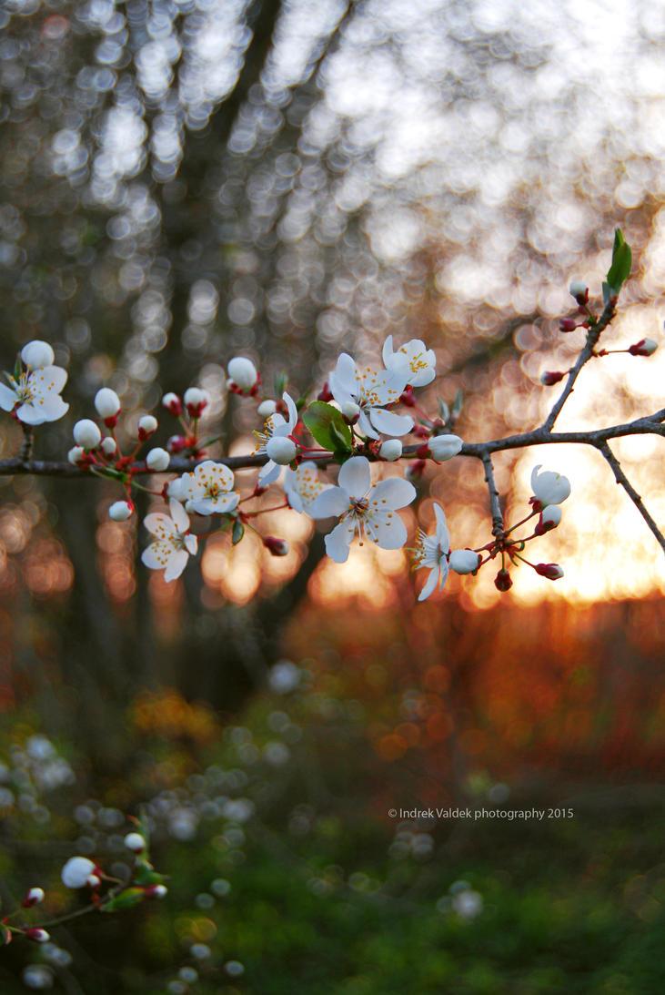 Cherry blossoms by indrekvaldek
