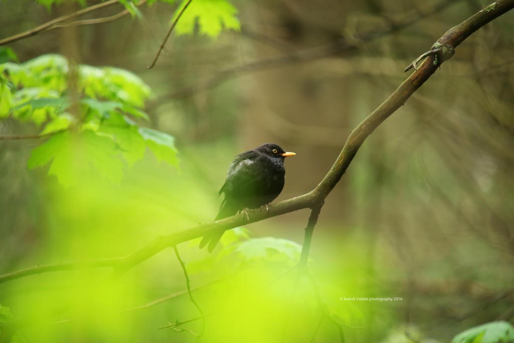 Blackbird spring meditation by indrekvaldek