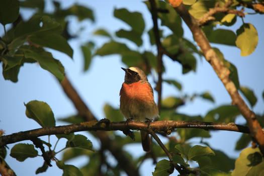 Common Redstart II