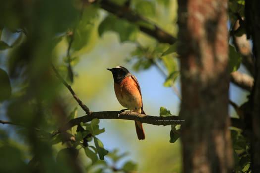 Common Redstart III