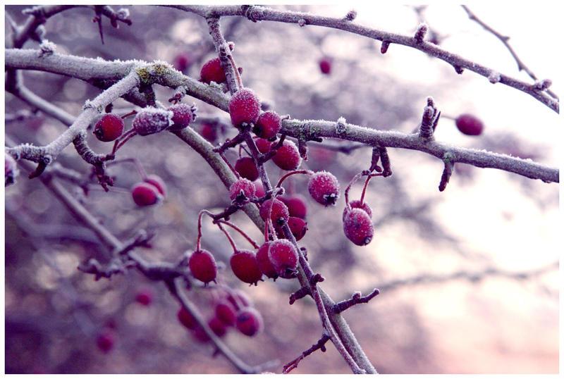 Winter Berries by diamondsTwinkle18