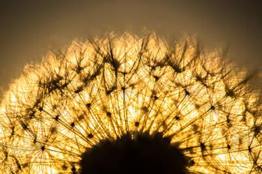 Dandelion Sunrise by DanielGeesen
