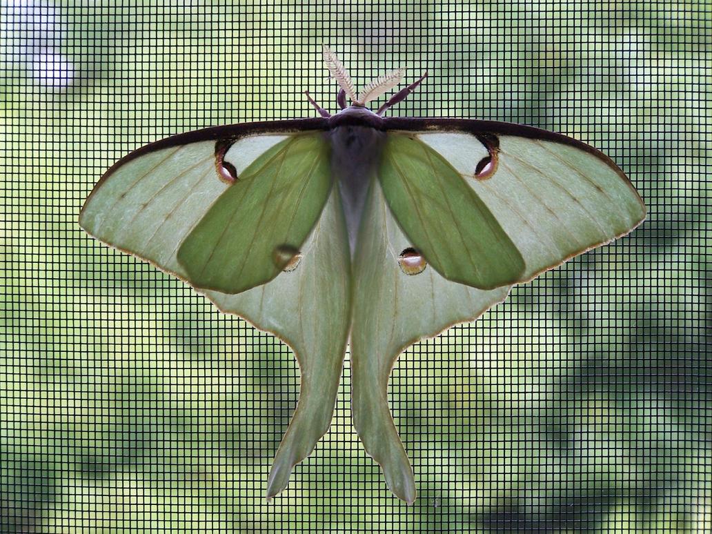 Luna Moth by katdesignstudio