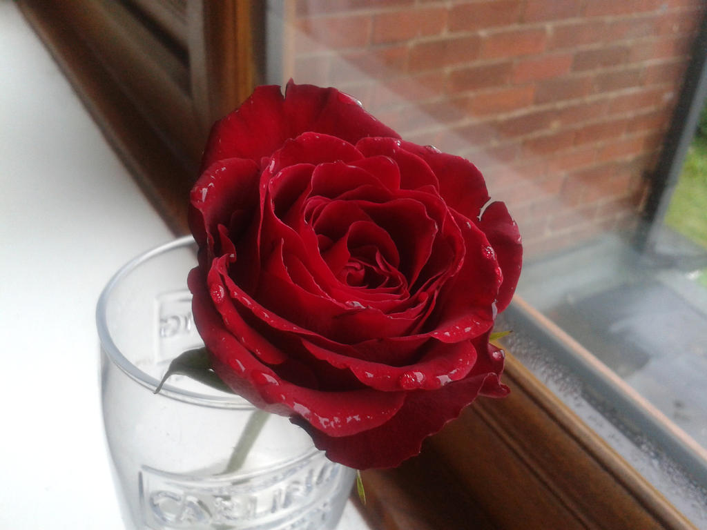 Valentines Rose Stock by emmys-stock