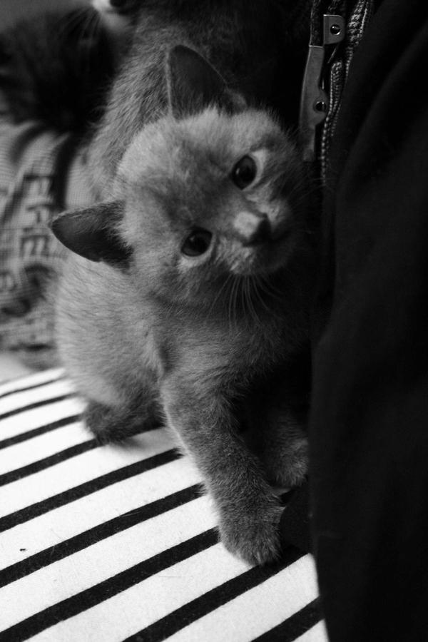 Baby Russian Blue