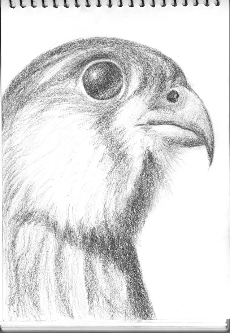 how to draw a peregrine falcon easy