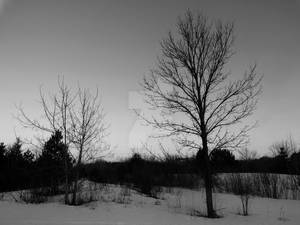 Dead Trees in The Winter