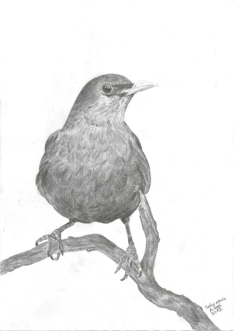 blackbirds drawing - photo #3