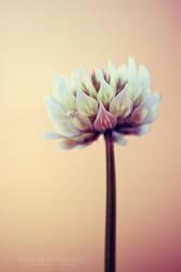 clover flower by Pikkochan