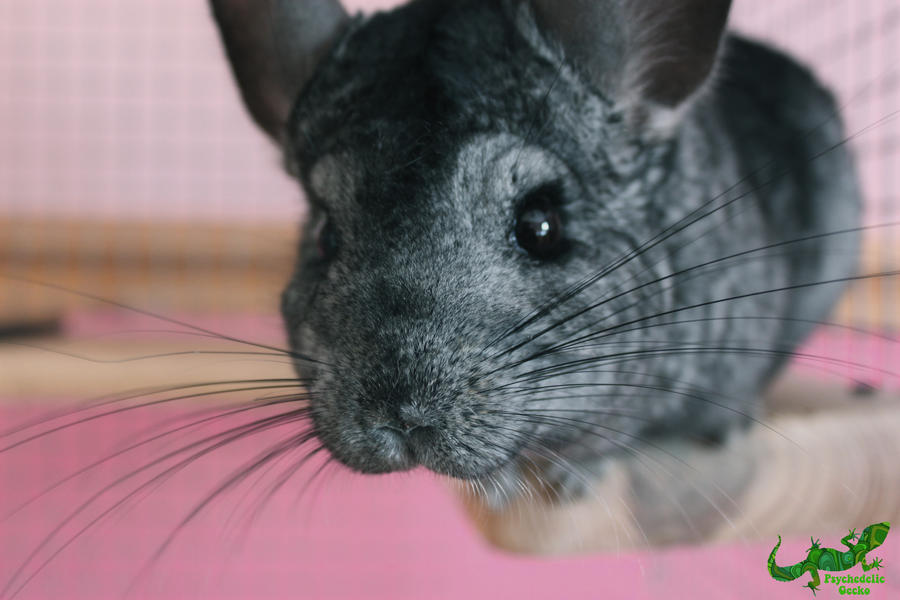Chinchilla by PsychedelicGecko