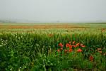 poppies by woisvogi