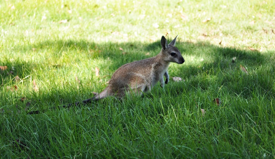 wallaby by nagomi09