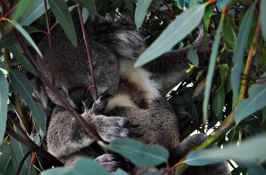 lovely koala by nagomi09
