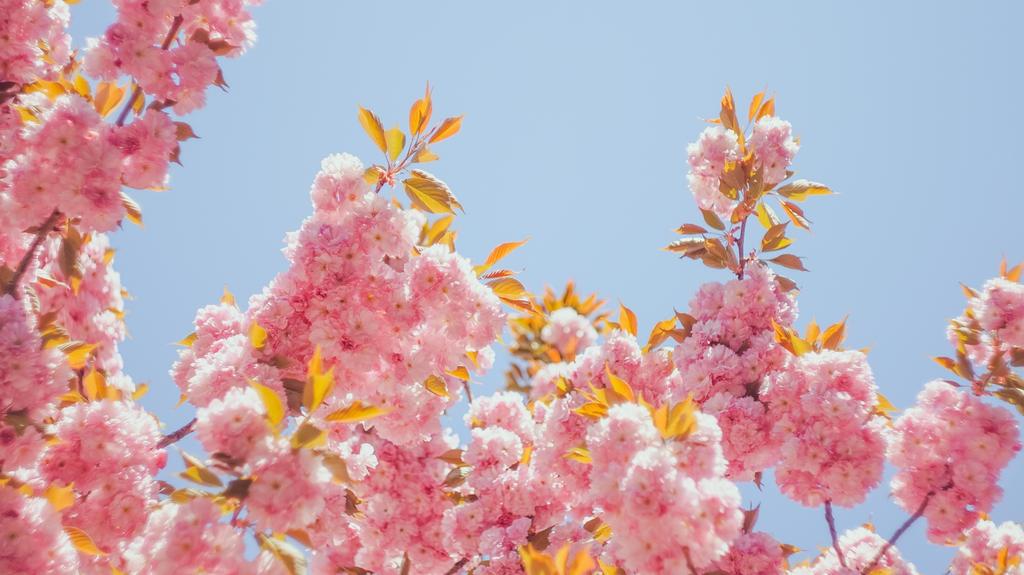 blossom by Mirrelley