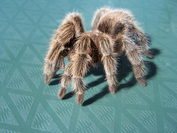 Tarantula by leavesXeyes