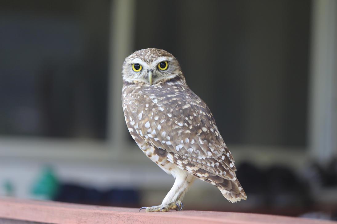 owl by Lais-Pinheiro