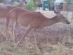 Deer-Stock 3