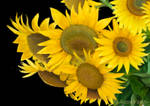 Sunflowers snippet by AquaVarin