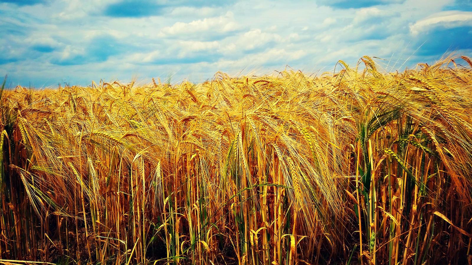 as we walk in fields of gold by shuckaby on DeviantArt