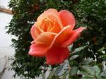 Spanish Rose by Ohbuddy