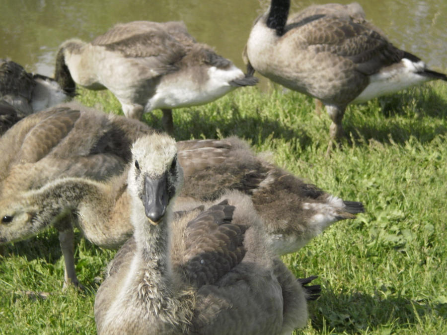 Ducks and Geese 7 by MindlessAngel