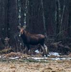 Mrs Moose by silverdragon76