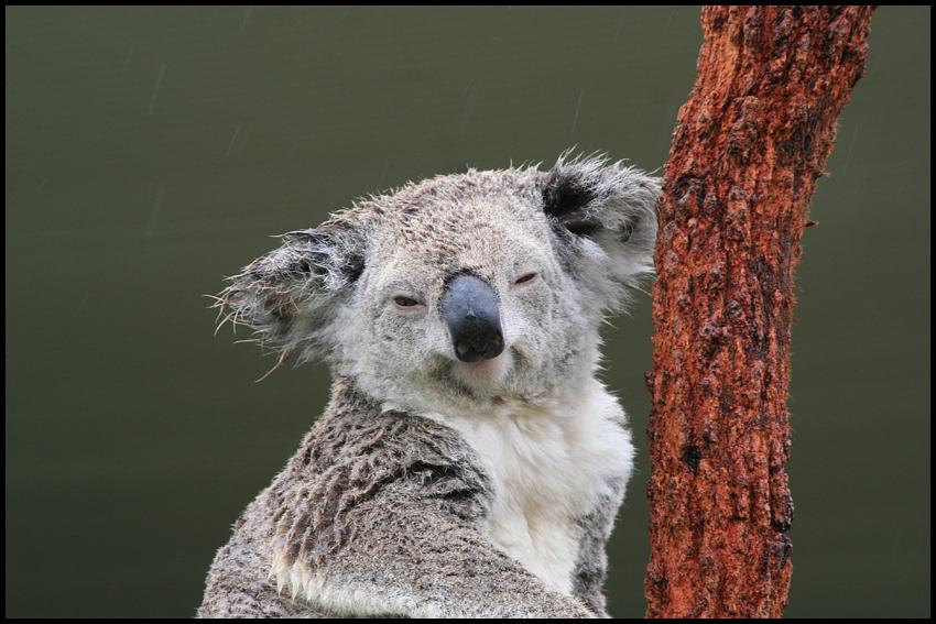 Image Gallery stoned koala