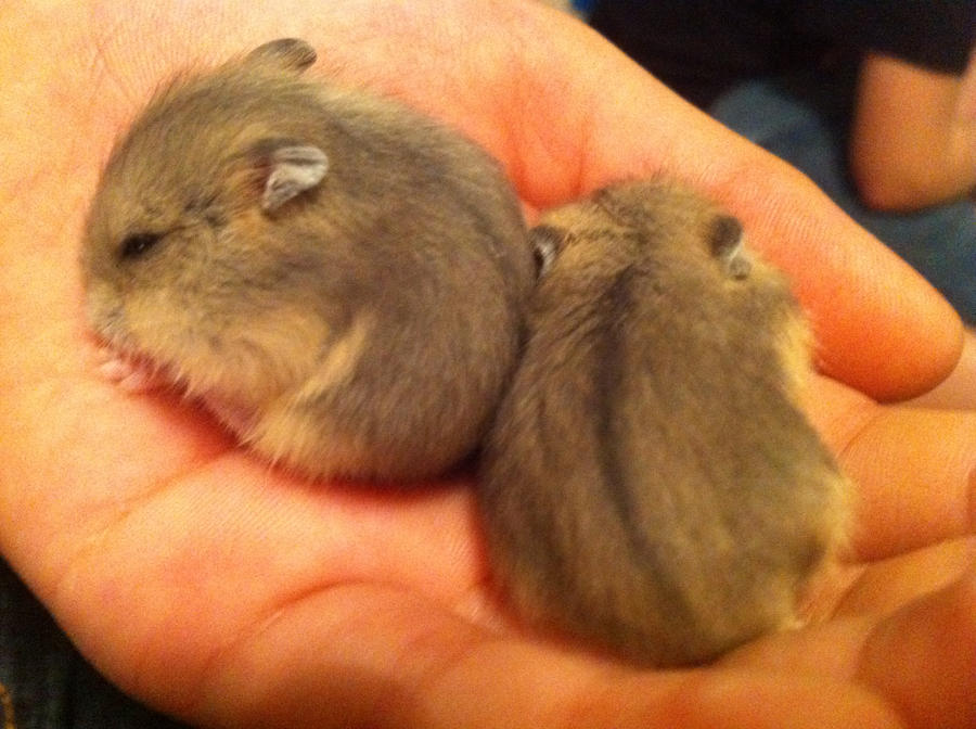 Baby Hamsters 2 out of six by PedroThePie on DeviantArt
