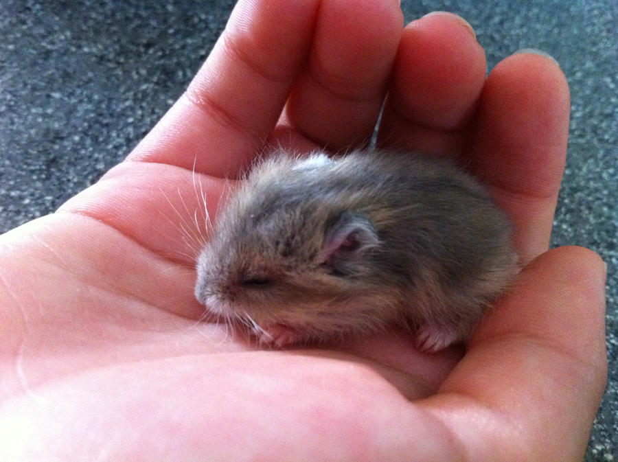 Baby hamster sleeping by PedroThePie on DeviantArt