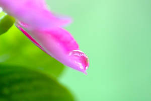 Pink drop by M0NY11