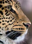 5487 - Persian Leopard