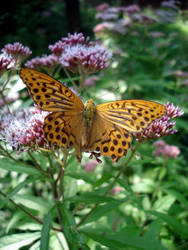 Butterfly by DitaK