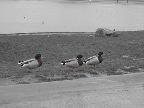 Ducks In Rain Semi-Coloured