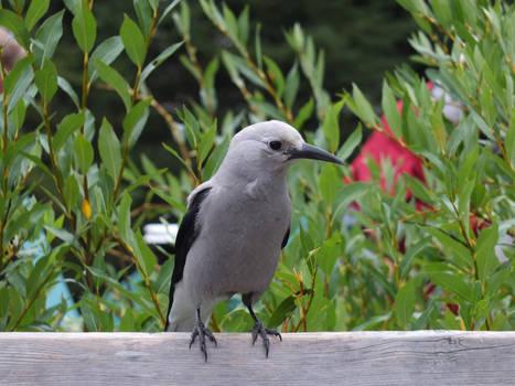 Canadian Bird... (Clarke Nutcracker)