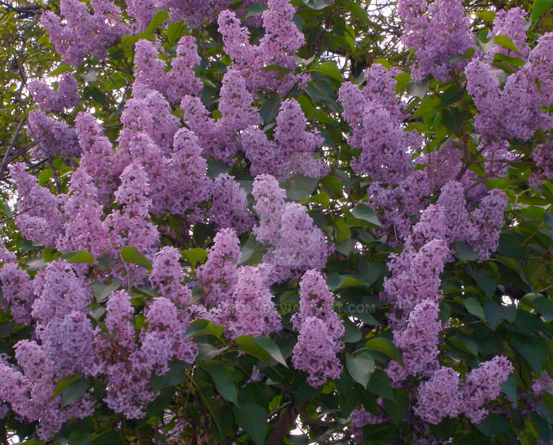 LILACS IN BLOOM TABLESCAPE  StoneGable
